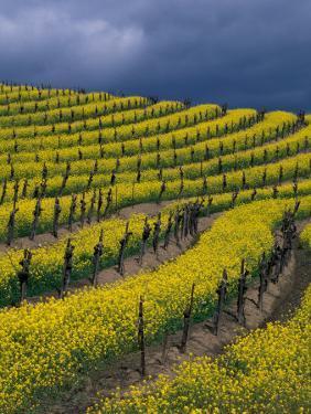 Springtime Mustard Blooms, Carneros Ava., Napa Valley, California by Karen Muschenetz