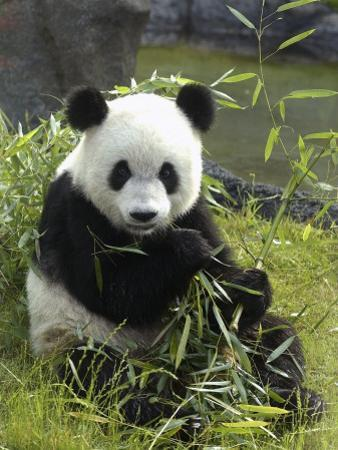 Tennessee, Memphis, a Giant Panda, on Loan to the Local Zoo, Enjoys a Snack of Bamboo Shoots