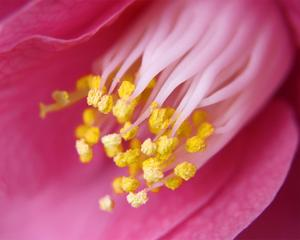 Pink Camellia by Karen Ussery