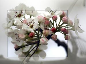 Cherry Blooms by Karen Williams