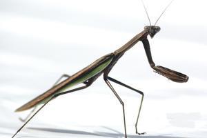 Praying Mantis by Karen Williams