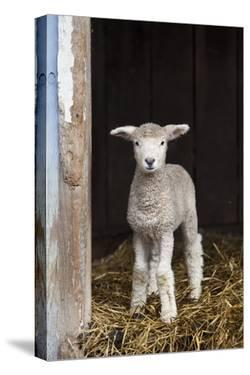 A Baby Romney Lamb Stands in a Barn On Some Hay by Karine Aigner