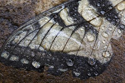 A Fallen Butterfly Wing Lies on the Rocks Covered with Raindrops and Water