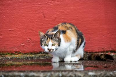 A Faroese Cat Sits Against a Red Wall