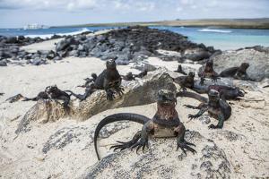 A Group of Marine Iguanas Pose on the Rocks, Galapagos Islands, Ecuador by Karine Aigner