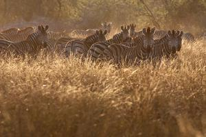 A Herd Of Zebra Stand In The Tall Grass In The Early Morning Sunshine by Karine Aigner