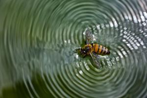 A Honey Bee Floating in Water Making Patterns, Apis Mellifera by Karine Aigner