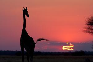 A Lone Giraffe in Silhouette Watches the Sun Set on the Horizon. Deception Valley, Botswana by Karine Aigner
