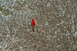 A Male Cardinal in a Sage Brush by Karine Aigner