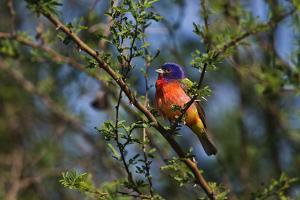 A Painted Bunting, Passerina Ciris, Perches on Branches by Karine Aigner
