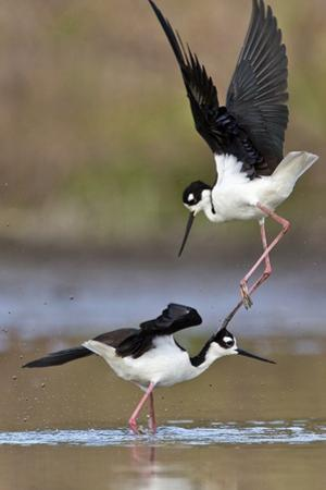 A Pair of Black-Necked Stilts, Himantopus Mexicanus, Fighting over a Female