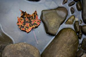 A Pink, Orange and Brown Maple Leaf Lays in a Still Pool of Water, Cheat River, West Virginia by Karine Aigner