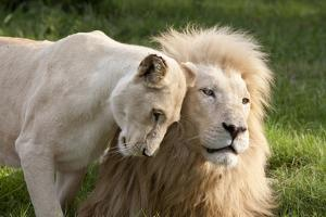A White Lion Males Stares To The Right While A Lioness Nuzzles Him And Shows Affection by Karine Aigner