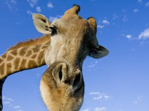 Captive Giraffe Portrait Looking into the Camera Against a Blue Sky by Karine Aigner