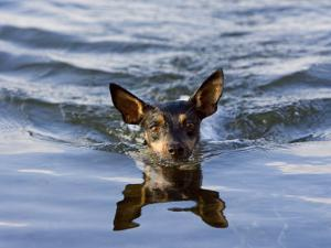Close Up of Rat Terrier Swimming in the Water with a Reflection by Karine Aigner