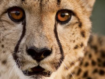 Close Up Portrait of a Cheetah.