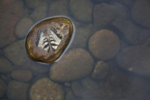 Fallen Butterfly Wings Resting Side by Side on a Rock in the River by Karine Aigner