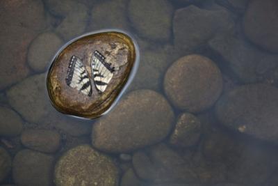Fallen Butterfly Wings Resting Side by Side on a Rock in the River