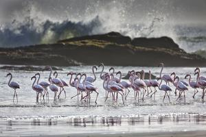 Flock Of Greater Flamingos (Phoenico Ruber), Diaz Point, Luderitz, South Atlantic Ocean, Namibia by Karine Aigner