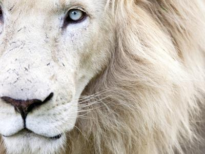 Full Frame Close Up Portrait of a Male White Lion with Blue Eyes.  South Africa. by Karine Aigner