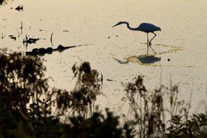 Great Egret Stands Still, It Stalks Dinner, Marshes Of Blackwater Wildlife Refuge, Cambridge, MD by Karine Aigner