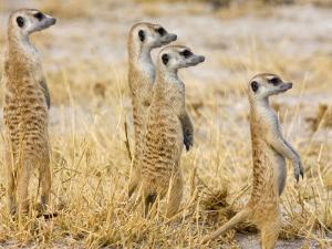 Group of Standing Meerkats, Suricata Suricatta by Karine Aigner