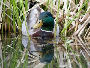 Mallard Duck (Anas Platyrhynchos) Male Portrait with Water Reflection by Karine Aigner