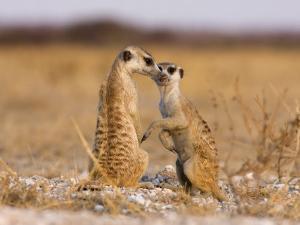 Pair of Meerkats, Suricata Suricatta by Karine Aigner