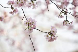 Pink Cherry Blossoms Bloom On Tree In Spring At The Peak Of Cherry Blossom Season, Washington, DC by Karine Aigner
