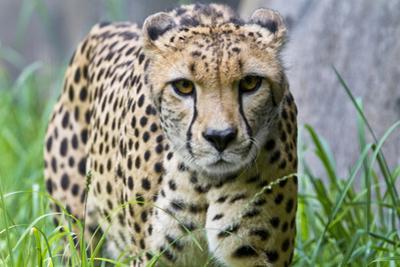 Portrait of a Female Cheetah, Acinonyx Jubatus by Karine Aigner