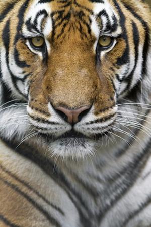 Portrait of a Male Bengal Tiger, Panthera Tigris Tigris
