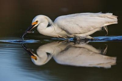 Portrait of a Snowy Egret with a Fish in its Beak