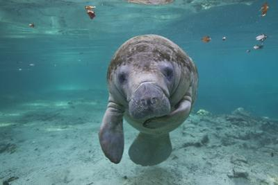 """Portrait of a West Indian Manatee or """"Sea Cow"""" in Crystal River, Three Sisters Spring, Florida"""