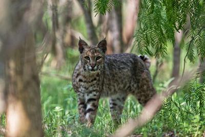 Portrait of a Wild Bobcat, Lynx Rufus