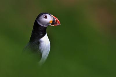 Portrait of an Atlantic Puffin