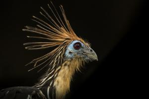 Portrait of an Hoatzin, Opisthocomus Hoazin, also known as the Stinkbird, or Canje Pheasant by Karine Aigner