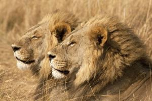 Portrait Of Two Adult Male African Lion Brothers. Linyanti, Botswana 2007 by Karine Aigner