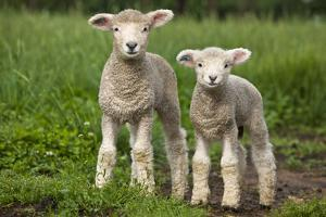 Portrait of Two Cute Baby Sibling Romney Lambs in a Green Pasture by Karine Aigner