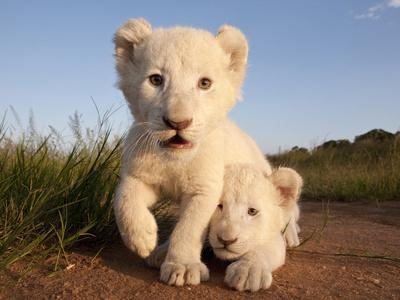 Portrait of Two White Lion Cub Siblings, One Laying Down and One with it's Paw Raised.