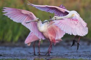 Roseate Spoonbills, Platalea Ajaja, Landing on Lake Corpus Christi by Karine Aigner