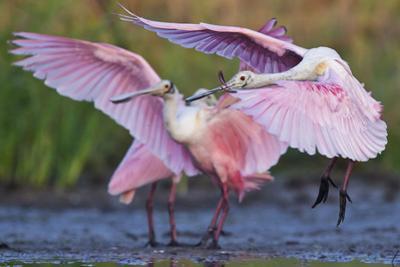Roseate Spoonbills, Platalea Ajaja, Landing on Lake Corpus Christi