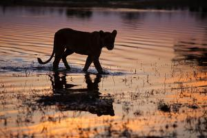 Silhouette Portrait of a Lioness Crossing Through the Water of the Savuti Channel in Botswana by Karine Aigner