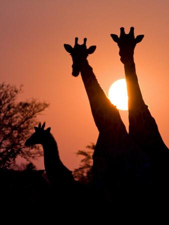 Two Adult Giraffes and a Baby Silhouetted by an Orange Sunset