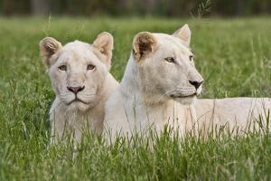 Two Captive White Lions Laying In The Grass. South Africa by Karine Aigner