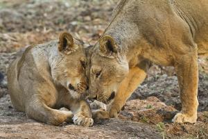 Two Lionesses Nuzzling Each Other Showing Love in Mana Pools National Park, Zimbabwe by Karine Aigner