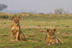Two Wild Female Lions Sitting On The Plains, Stare, And Make Eye Contact With The Camera. Zimbabwe by Karine Aigner