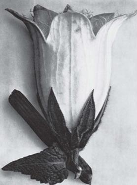 Bell Flower by Karl Blossfeldt