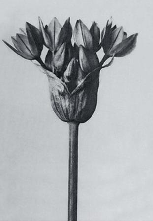 Garlic Plant by Karl Blossfeldt