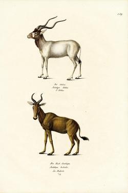 Addax, 1824 by Karl Joseph Brodtmann