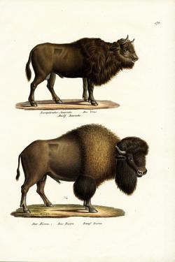Aurochs, 1824 by Karl Joseph Brodtmann